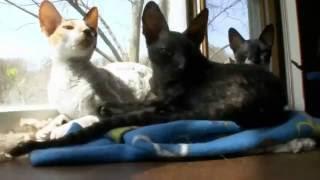 Корниш рекс – корнуэльская королевская кошка