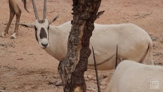 Creature Feature — Arabian Oryx