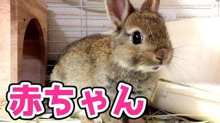 【生後2ヶ月】うさぎの赤ちゃんが家族の一員としてやってきました!【ネザーランドドワーフ】ウサギ日記 thumbnail