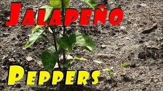 Garden Is Finally Planted & Growing #98 Heirloom Organic Vegetable Garden
