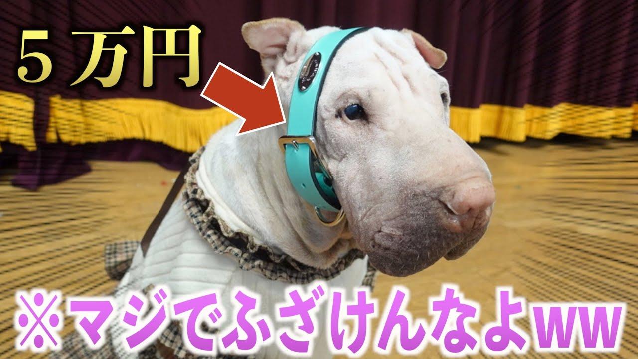 世界一珍しい犬種にティファニーの首輪を買ってあげたら使えないことが判明ww