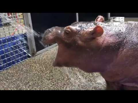 Thumbnail: Premature Baby Hippo Fiona Playing in Water Spray - Cincinnati Zoo