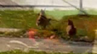 Key West Wild Chickens