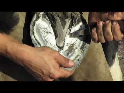 Farrier / Blacksmith Hot re-shoe how Its done in HD