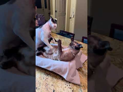 Cleo & Max - Devon Rex cats ages play