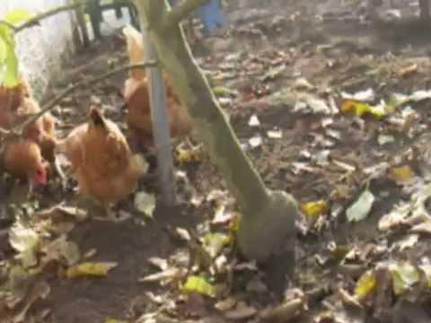 Hühnerhaltung Im Garten meine hühner im garten