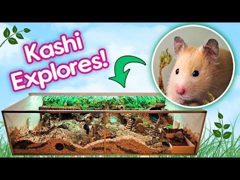 "Hamster ""Kashi"" Explores Her Rainforest Cage for the First Time!"