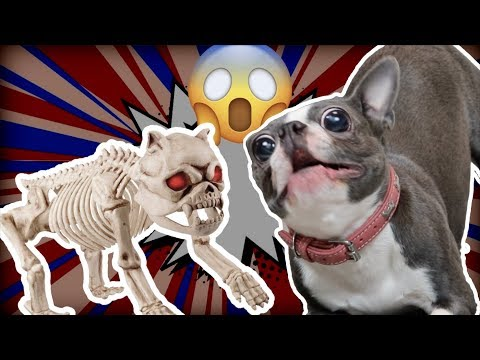 Boston Terrier Scared Of Halloween Dog Skeleton | TRY NOT TO LAUGH