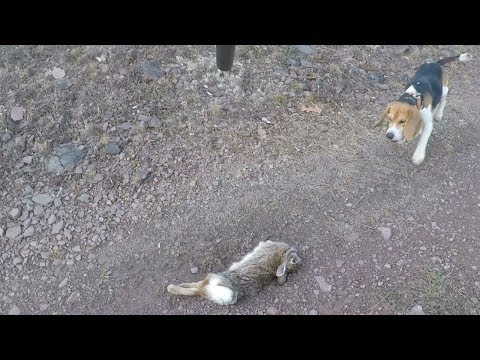 Hunting Rabbits With Field Trial Champion Beagles