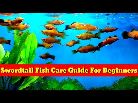 Swordtail Fish Care Guide For Beginners
