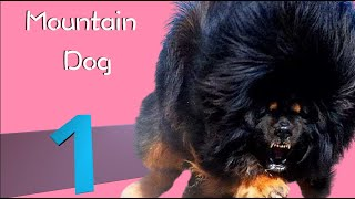 Top 10 Mountain Dog Breeds. Bernese,  Mastiff,  Pyrenean.
