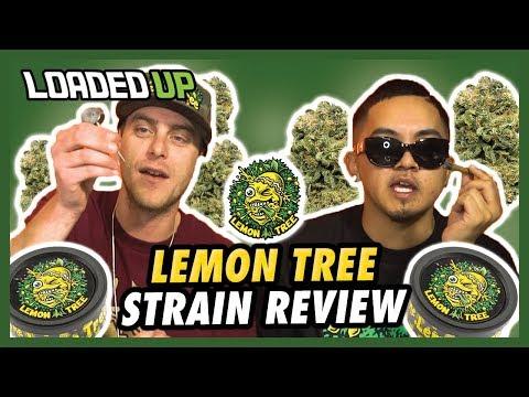 Lemon Tree Strain Review   Loaded Up