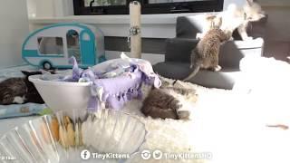 Tiny Kittens Timbit goes thru crack in wall 916 clock & again 918 clock 7 14 2017