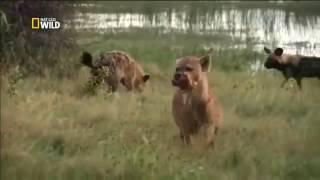 История одной гиеновой собаки/ Документальный фильм National Geographic