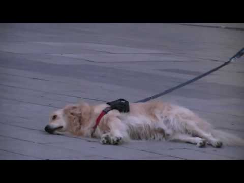 Dog listens to music.