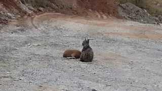 Vaşak Dağ Keçisi Avı Divriği Sivas