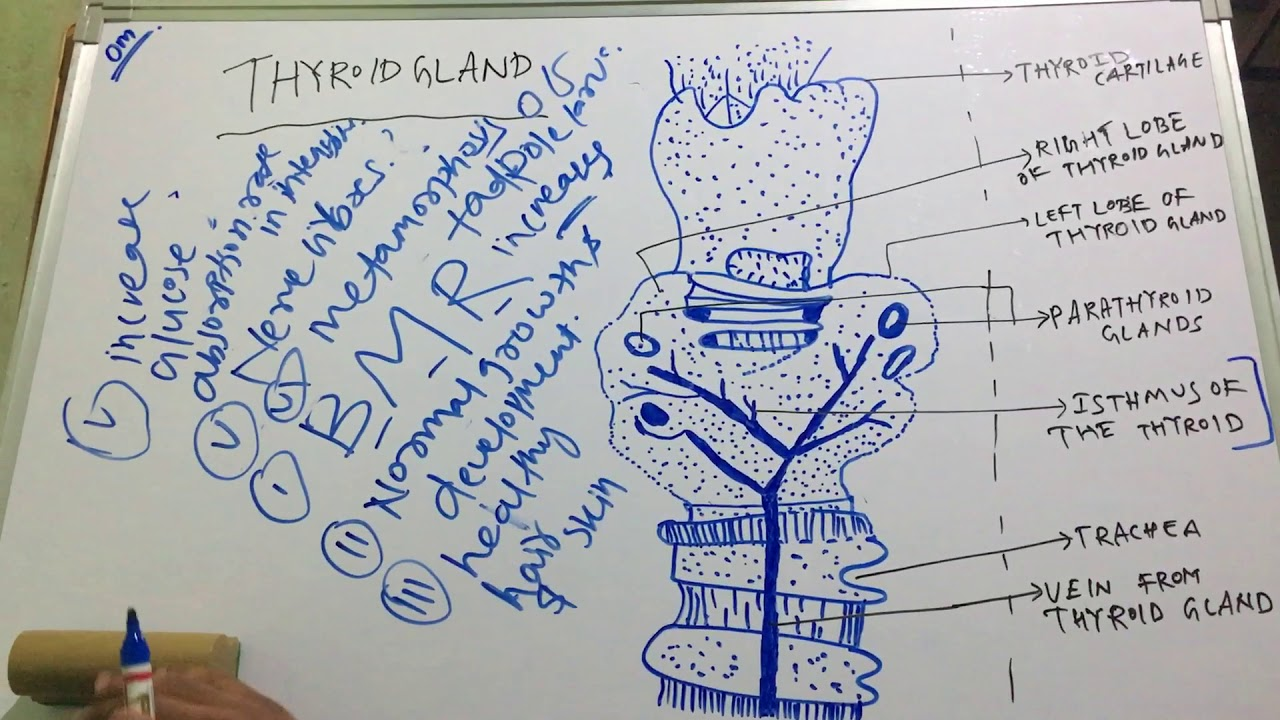 Thyroid Gland Structure And Function Of Thyroid Gland Also