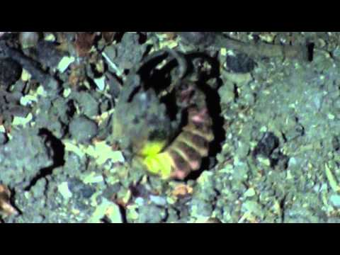 Alien Insect (luminescent)