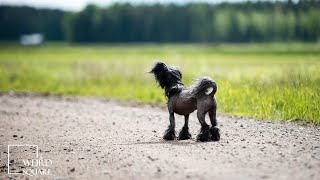 Chinese Crested Dog 101 Barking Dancing Powderpuff Singing Show Grooming Howling Wants Attention