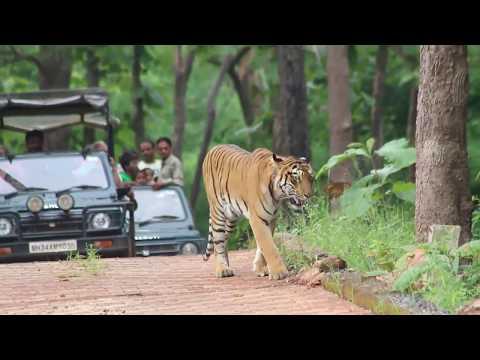 Wildlife All Documentary | Tiger | Tadoba | Umred Karhandla | Pench | Bor Wildlife | Tiger