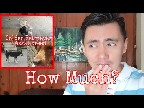 HOW MUCH? Our Golden Retriever Had an affair with an Askal and gave birth to 8 Gold Azkals