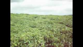 Bois Cheri tea plantation MAURITIUS