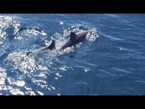Dolphin in Sri Lanka Ocean