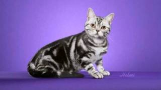 American Shorthair cat being photographed at a cat show Thumbnail