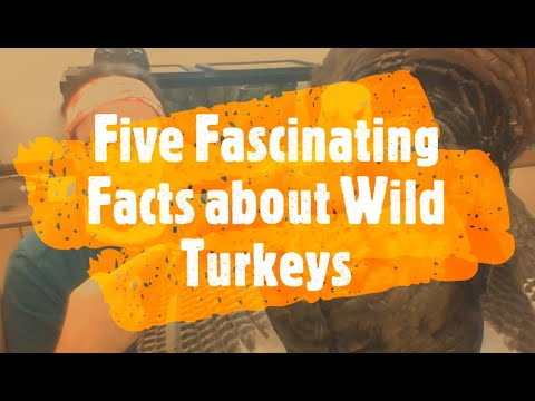 Five Fascinating Facts About Wild Turkeys