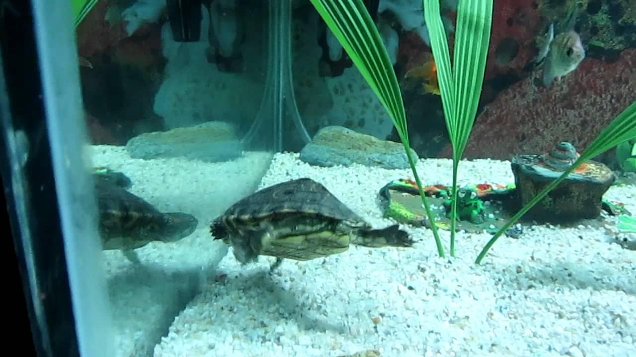 Tortuga de orejas rojas acuario de 250 litros youtube for Acuario tortugas