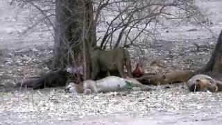 Lions kill elephant in Mana Pools National Park, Zimbabwe. October 2013.