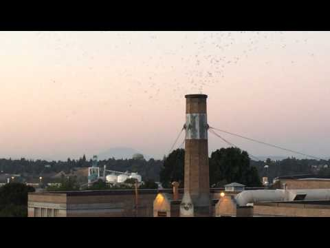 Vaux's Swifts Dusk Roosting