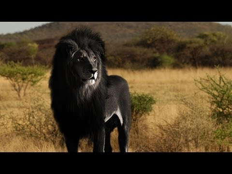 IS THE BLACK LION REAL?
