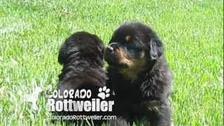 Rottweiler Puppies For Sale - Playing At 5 Weeks Old