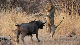 Ataques De Animales Salvajes - Animales Salvajes Cazando Su Presa | Documental