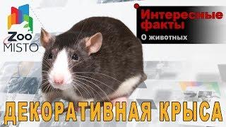 Декоративная крыса - Интересные факты о виде | Вид декоративная крыса