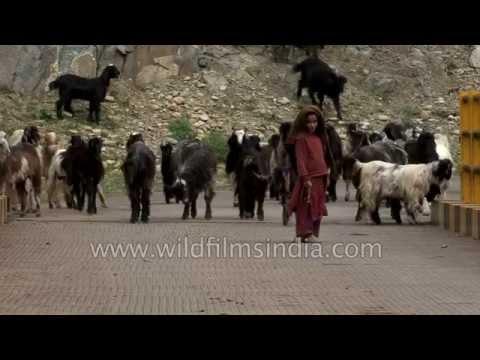 Cute little Kashmiri herders lead Pashmina goats in Pahalgam