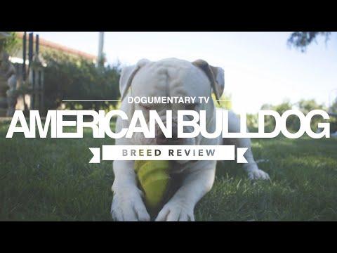 AMERICAN BULLDOG BREED REVIEW