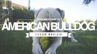 AMERICAN BULLDOG BREED REVIEW