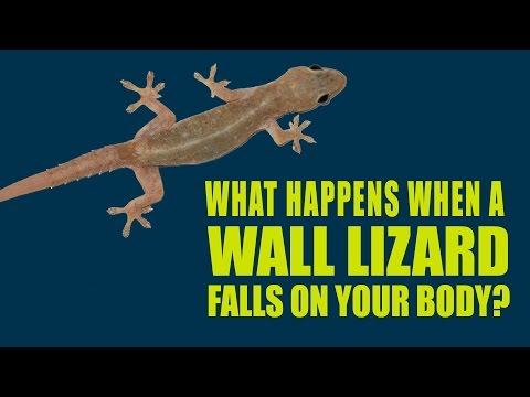 What happens when a wall lizard falls on your body | Artha