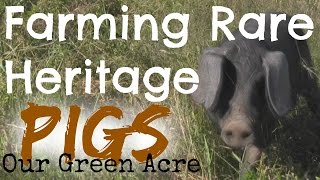 Farming Rare Heritage Pigs - Our Green Acre