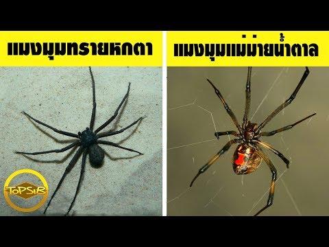 10 อันดับ แมงมุม ที่มีพิษร้ายแรงที่สุดในโลก (จริงดิ )