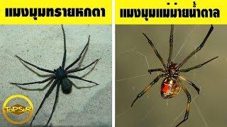 10 อันดับ แมงมุม ที่มีพิษร้ายแรงที่สุดในโลก (จริงดิ!!)