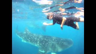 Cancun Whale Sharks