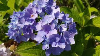 Uprawa hortensji ogrodowej - podstawowe informacje