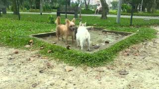 Jack Russell Playing With Cairn Terrier