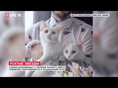 Персидская кошка Википедия