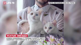 Кошки-близняшки с глазами разного цвета набирают популярность в соцсети