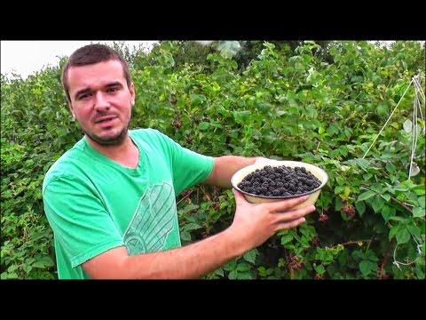 Вопрос: Ежевика это русская ягода И как избавиться от неё на садовом участке?
