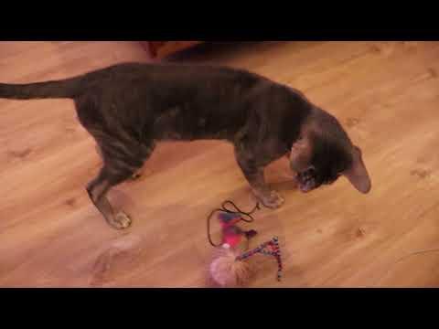 oriental cat fetch